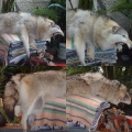 wolf หมาป่า